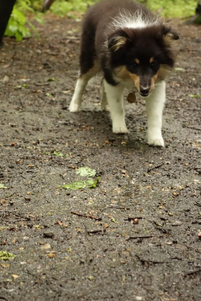 Sheltie puppy walking woods