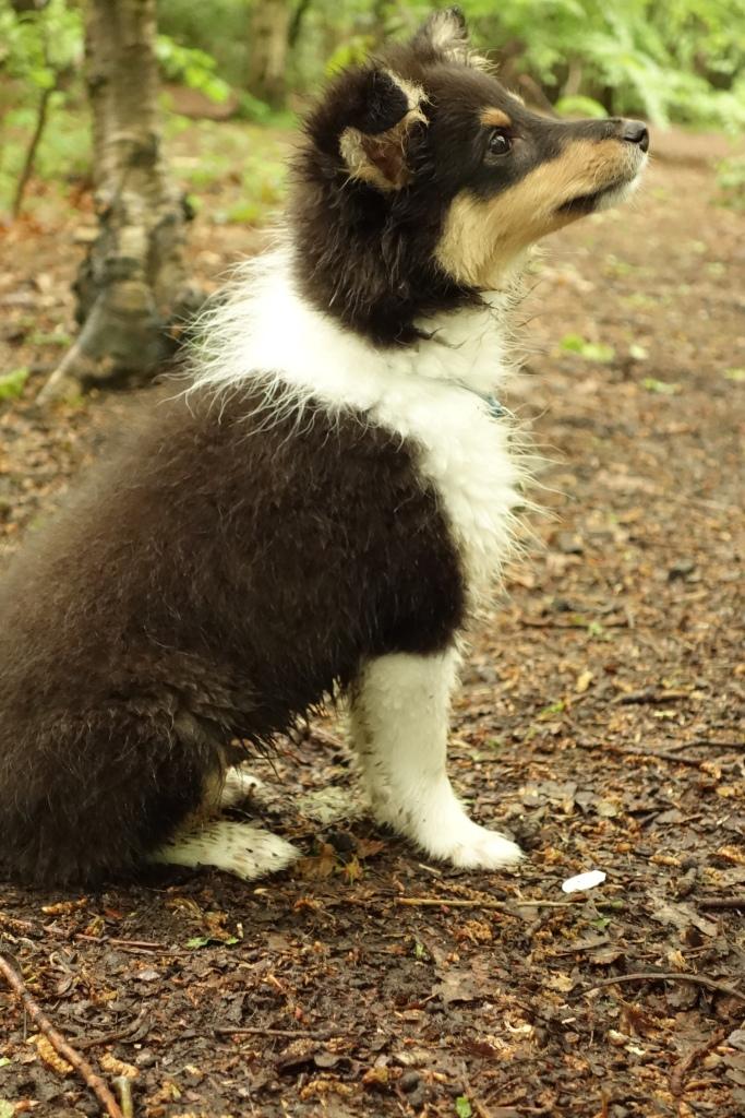 Sheltie puppy Roy