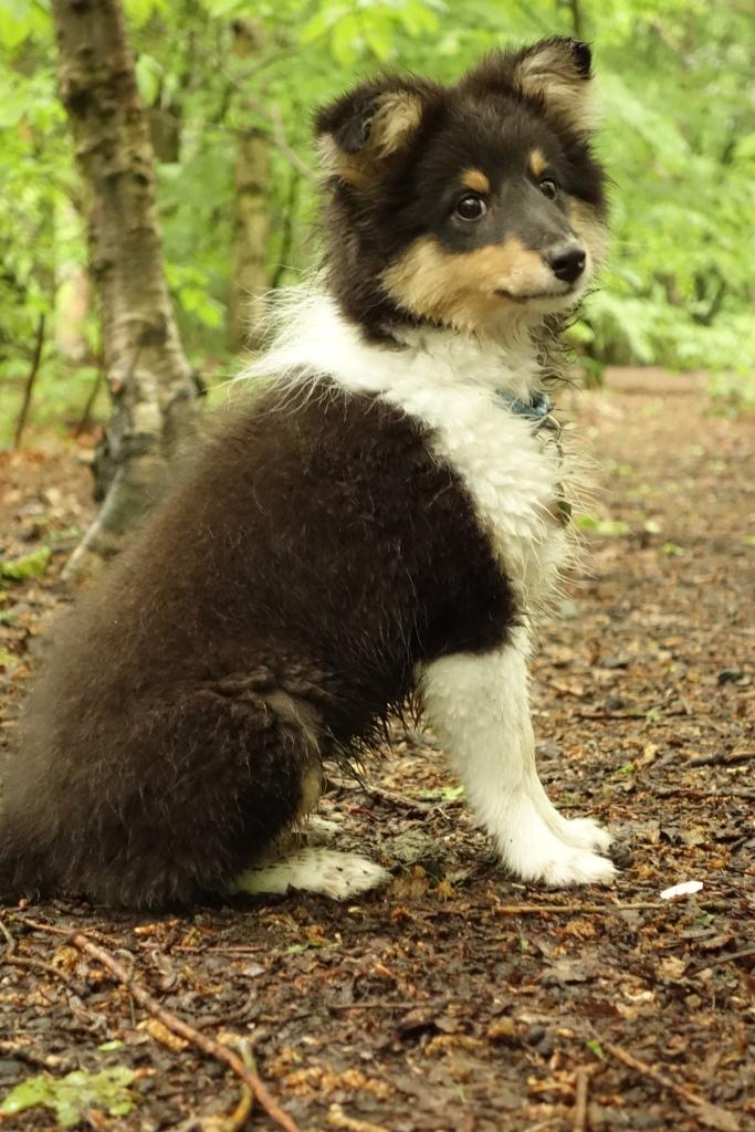 Roy Sheltie Puppy
