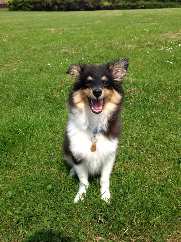 Laughing Roy the sheltie