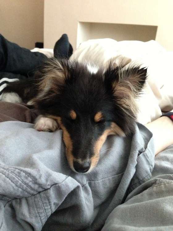 Roy sheltie sleep