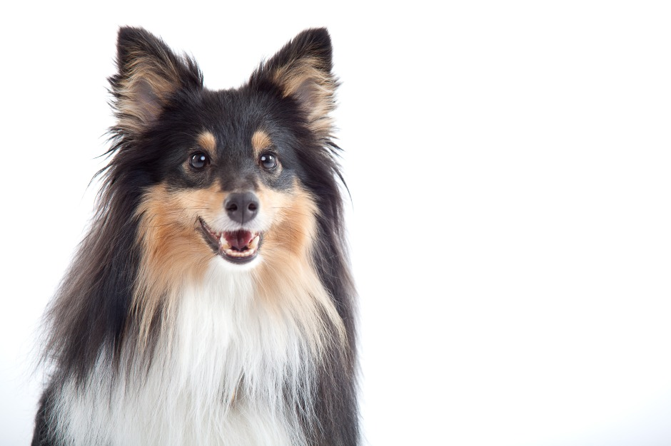 Roy sheltie photoshoot 2