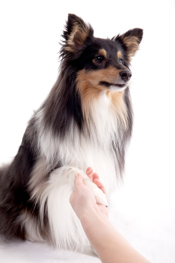 Roy sheltie photoshoot 8 shake paw